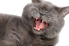 Grau-blaue Katze gähnt auf einem weißen Hintergrund Stockfotos
