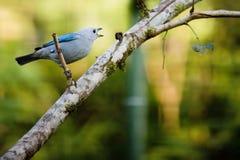 Grau-blauer Tanagervogel Lizenzfreies Stockfoto