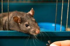 Grau-farbige inländische Ratte Lizenzfreies Stockbild