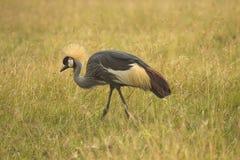 Grau gekrönter Kran auf Masai Mara Lizenzfreie Stockfotografie