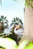 Grau gekrönter Kran (Balearica regulorum) Stockfoto