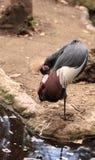 Grau gekrönter Kran nannte Balearica-regulorum Stockfotografie