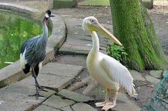 Grau gekrönter Kran und großer weißer Pelikan Lizenzfreies Stockbild