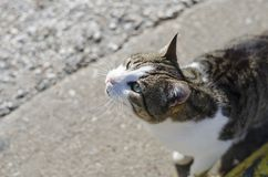 Grau-gelb-weiße obdachlose hungrige Katze bittet um Nahrung Mehrfarbige Augen, ein gelbes, zweites Blaues lizenzfreie stockfotografie
