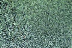 Grau-grüner Thuja Stockbilder