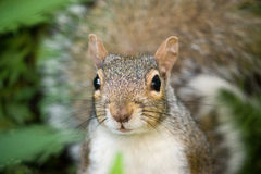 Grau/Grey Squirrel Lizenzfreie Stockfotografie