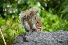 Grau/Grey Squirrel Stockfoto