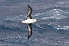 Grau-köpfiger Albatros, der über das Wasser des Falles von fliegt Stockfotos