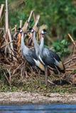 Grau krönte Kran (Balearica-regulorum) in der Savanne von Kenia, Afrika Lizenzfreies Stockbild