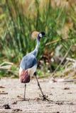 Grau krönte Kran (Balearica-regulorum) in der Savanne von Kenia, Afrika Stockfoto