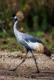 Grau krönte Kran (Balearica-regulorum) in der Savanne von Kenia, Afrika Stockfotografie