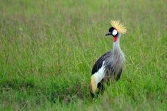 Grau krönte Kran, Maasai Mara Game Reserve, Kenia Stockfotos