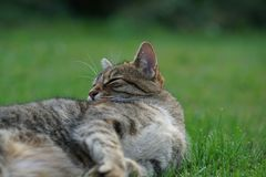 Grau-macht weiße Mitteleuropäer Shorthair-Katze das Pflegen lizenzfreies stockbild