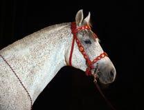 Grau malte Pferd in einer dunklen Zirkusarena Lizenzfreie Stockfotos