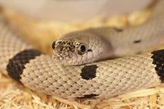 Grau-mit einem Band versehener König Snake Lizenzfreie Stockbilder