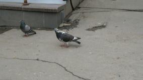 Grau-schwarze Vogeltauben gehen auf den schmutzigen Asphalt und die sauberen Federn stock video