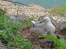 Grau- und weißering-berechnete Seemöwe und ihr Nest von Babys mit großer Kolonie im Hintergrund stockfotos