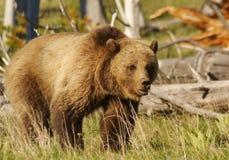 Graubär Lizenzfreies Stockfoto