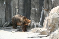 Graubär 2 Lizenzfreie Stockbilder
