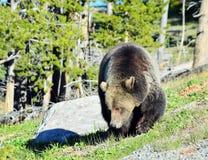 Graubär Lizenzfreie Stockfotografie