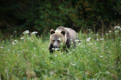 Graubär Lizenzfreies Stockbild