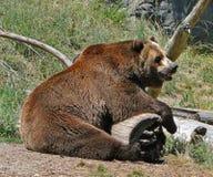 Graubär-Bär Lizenzfreies Stockfoto