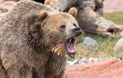 Graubär-Bär Lizenzfreie Stockfotografie