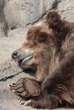 Graubär-Bär Stockfoto