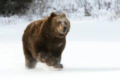 Graubär-Bär, der in Schnee läuft   Lizenzfreie Stockfotografie