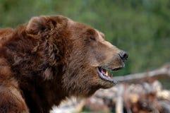 Graubär-Bär - geöffneter Mund Stockfotografie