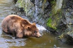 Graubär-Bär im Wasser Stockfotos