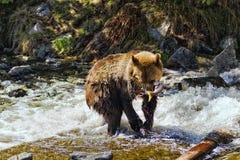 Graubär-Bär mit rosafarbenen Lachsen Stockfoto