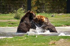 Graubär-Bären Lizenzfreies Stockfoto