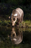 Graubär-Bärentrinken Stockbilder