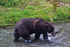Graubär, der Lachse im Strom isst Stockfotos