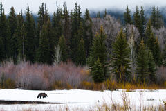 Graubär, der in Schnee durch Wald geht Lizenzfreie Stockbilder
