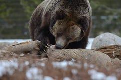 Graubär-Greifer Stockfotos