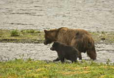 Graubär mit Jungem Stockfotografie