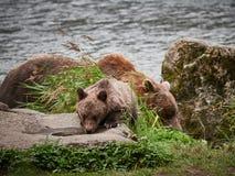 Graubär-Mutterbär und -junges, die ein Getränk nahe Haines Alaska nehmen lizenzfreie stockbilder