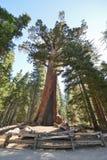 Graubär-riesiger Mammutbaum in Mariposa Grove, Yosemite Lizenzfreies Stockbild