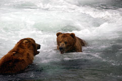 Graubär trägt Dialog Lizenzfreie Stockbilder