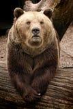 Graubärbär Stockfoto