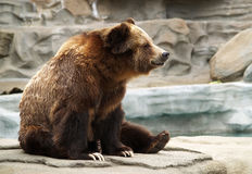 Graubärbär Lizenzfreie Stockbilder