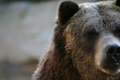 Graubärbär Lizenzfreies Stockbild