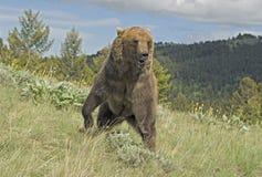 Graubärbär lizenzfreie stockfotografie