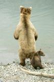 Graubärbären Stockfotografie