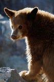 GraubärBärenjunges Stockbild