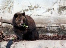GraubärBärenjunges Stockfoto