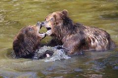 Graubären im Wasser Stockfoto