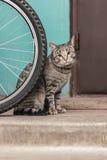 Graue Überbleibselkatze der getigerten Katze Lizenzfreie Stockfotografie